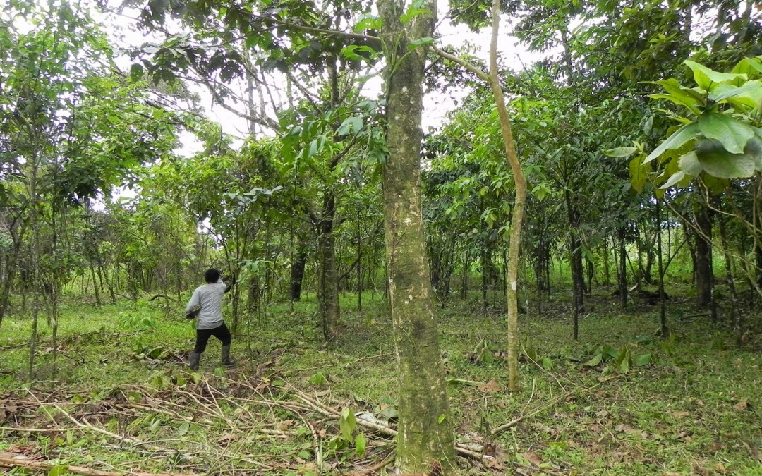 Clearing for Plantain, Cacao and Pineapple Plantation